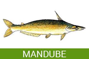 mandube